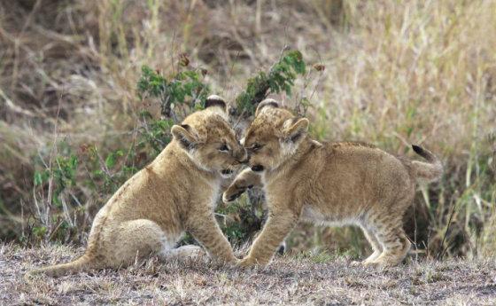 Liūtukai - dvyniai. Tanzanija