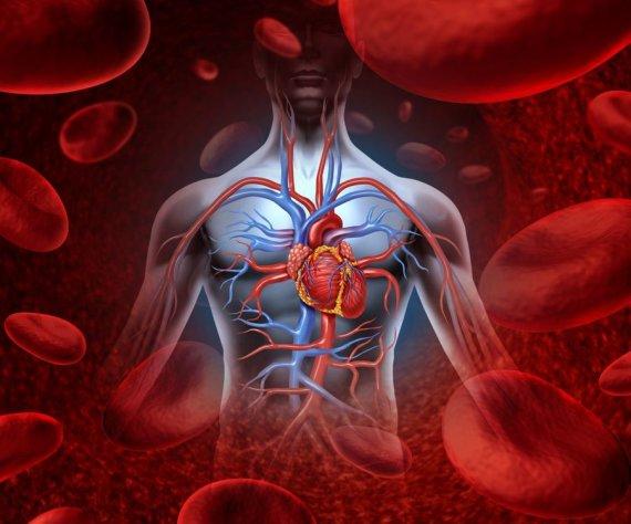 123RF nuotr./Širdis ir kraujotakos sistema