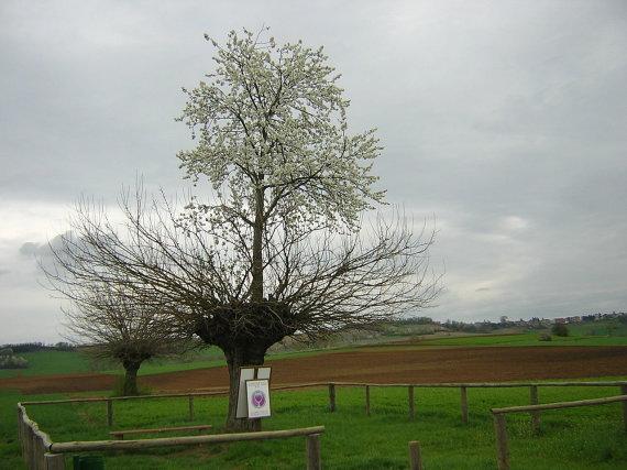 Wikipedia Commons / Alfio Cioffi nuotr. // CC BY-SA 2.0/Vyšnia, ant kurios auga šilkmedis