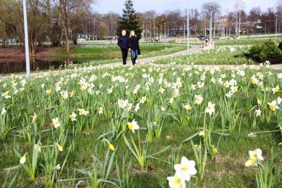 Druskininkų miesto savivaldybės nuotr./Druskininkuose pavasarį pranašauja žydintys narcizai