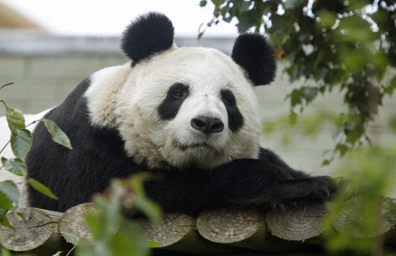 """""""Scanpix""""/AP nuotr./Panda"""