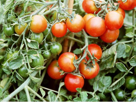 Vida Press nuotr./Pomidorai