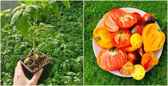Asmeninio archyvo nuotr. /Pomidorų daigai