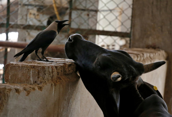 """Reuters""/""Scanpix"" nuotr./Karvė Indijoje"