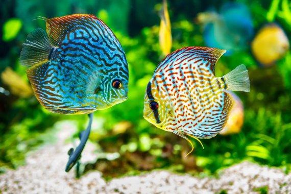 123RF.com nuotr./Žuvys, akvariumas