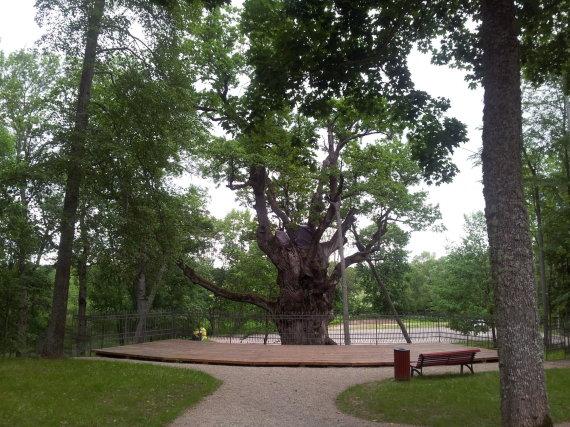 Stelmužės ąžuolas – vienas iš retų eksponatų, kurie traukia moksleivius