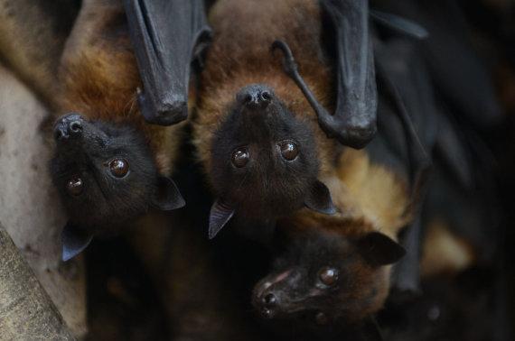 """AFP/""""Scanpix"""" nuotr./Nipa virusą platina pirmiausia vaisėdžiai šikšnosparniai"""