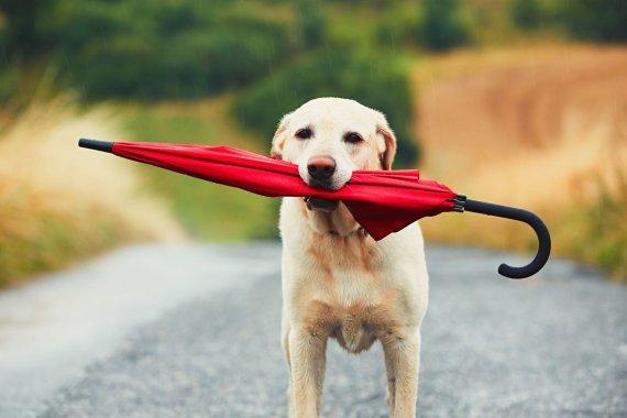 123RF.com nuotr./Šuo lietui lyjant