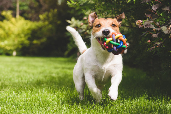 123RF.com nuotr./Pievoje žaidžiantis šuo