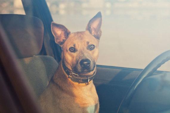 Vida Press nuotr./Šuo automobilyje