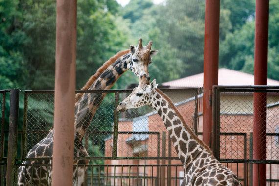 Eriko Ovčarenko / 15min nuotr./Į zoologijos sodą atgabenta žirafa