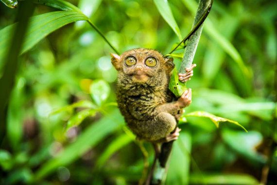 Shutterstock nuotr./Tarsyras, Filipinai
