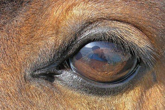 Arklio akys – didžiausios tarp visų sausumos žinduolių. (Waugsberg, Wikimedia(CC BY-SA 3.0)