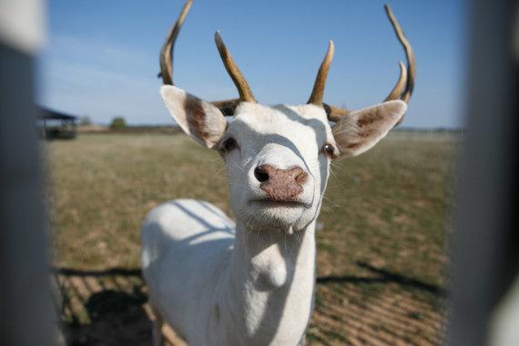 Eriko Ovčarenko / 15min nuotr./Alpakų ūkyje yra ne tik alpakų