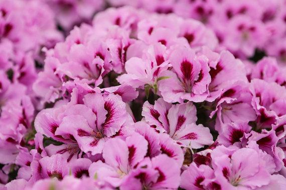 Eriko Ovčarenko / 15min nuotr./Gėlės