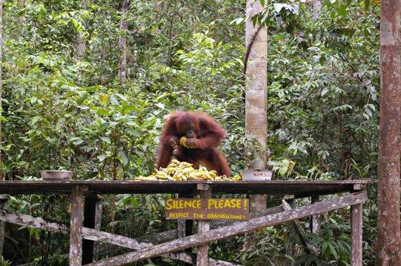 Viktorijos Panovaitės nuotr./Orangutango patelė skuba surinkti bananus, kol nepasirodė gaujos patinas.