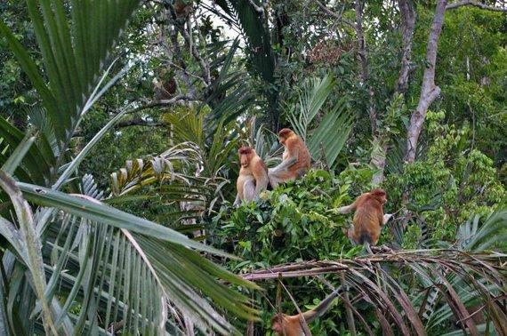 Viktorijos Panovaitės nuotr./Didnosės beždžionės