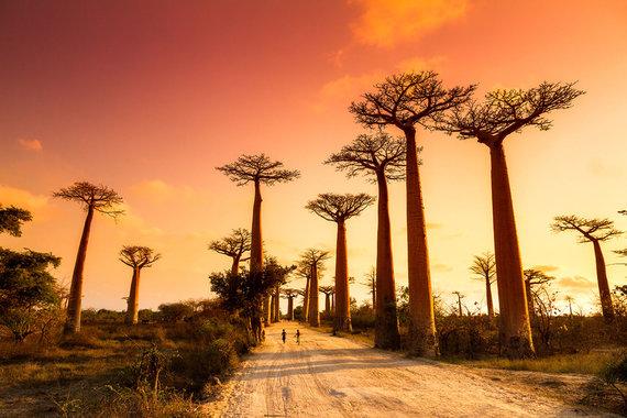 Shutterstock nuotr./Baobabų alėja