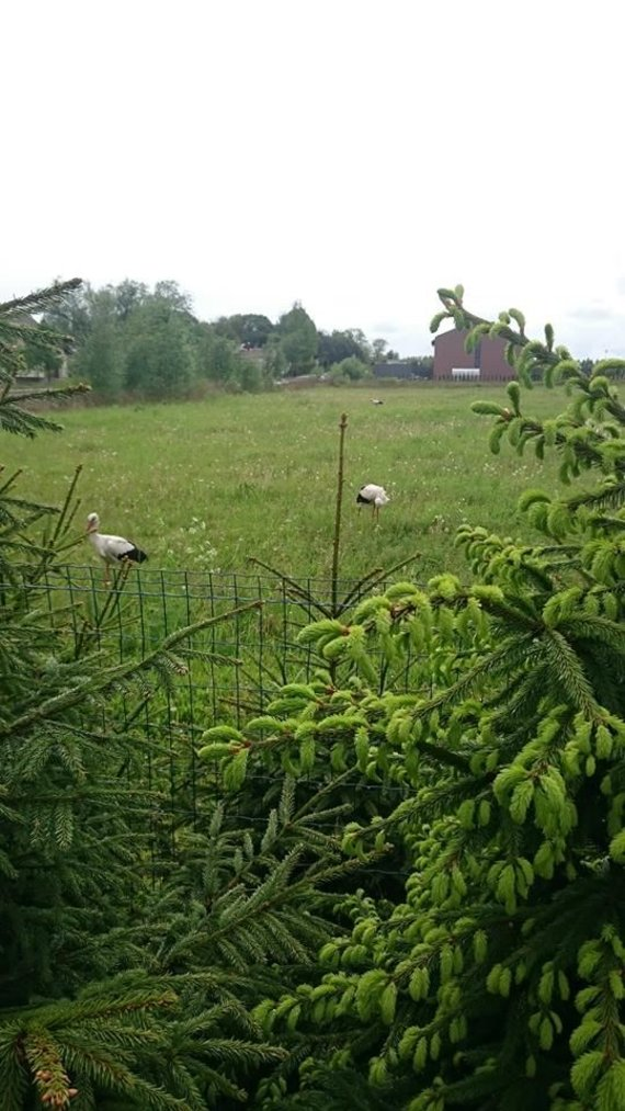Purmalių kaimo gyventojų nuotr./Purmalių kaime tepalais apmėtyti gandrai pajuodo.