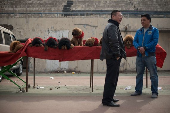 "AFP/""Scanpix"" nuotr./Parduodami Tibeto mastifai, 2013 m."