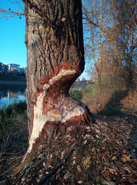 Bebro apgraužtas medis Vilniaus centre