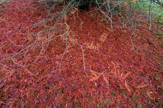 Luko Balandžio / 15min nuotr./Dubravos arboretumas - Dvieilis taksodis