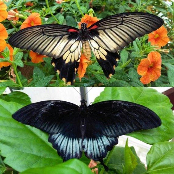 Papilio lowi patelė ir patinas