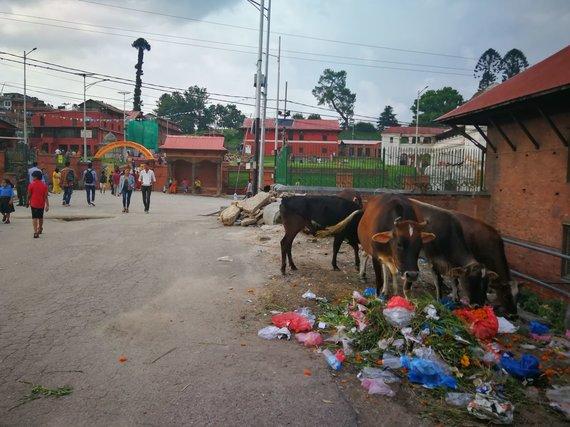 G.Juocevičiūtės nuotr./Laisvai po miestą šlitinėjančios karvės - nykstantis reiškinys Azijoje