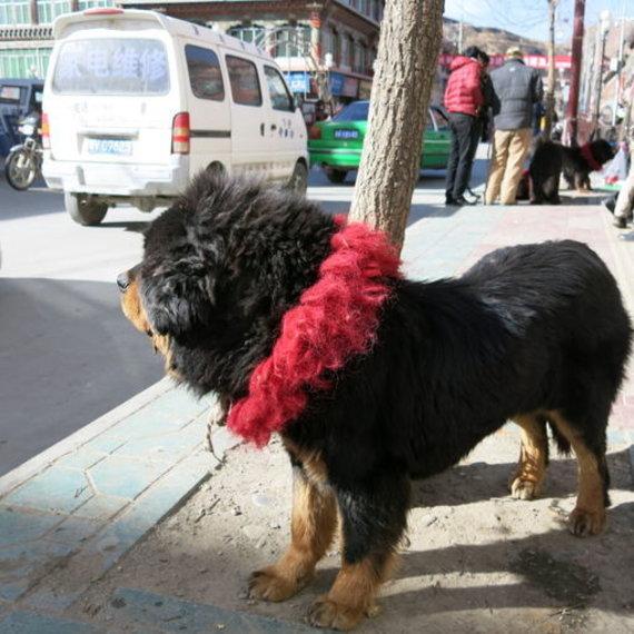 R.Dikčiaus nuotr./Tibeto miestuose palaidi vaikšto dideli mišrūnai ir itin sargūs Tibeto mastifai