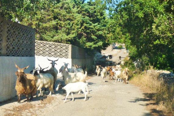 Dažnas vaizdas kaimo keliuke Italijos pietuose, Eglės Zicari nuotr.