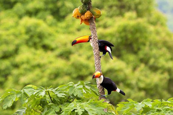 Shutterstock.com nuotr./Pantanalis, Brazilija