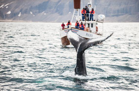 Shutterstock.com nuotr./Banginių stebėjimas Islandijoje