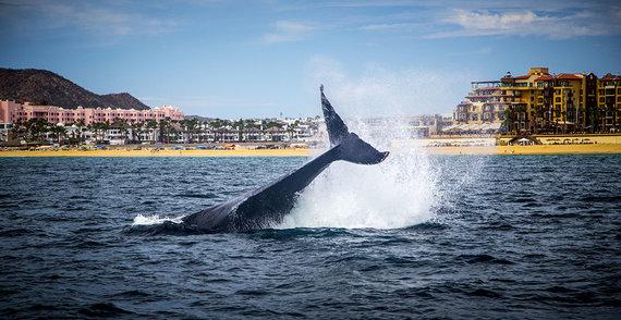 Shutterstock.com nuotr./Banginių stebėjimo turas Meksikoje