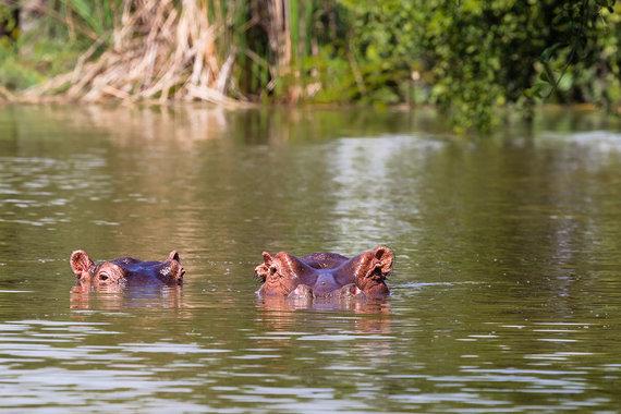 Shutterstock.com nuotr./Hipopotamai Baringo ežere