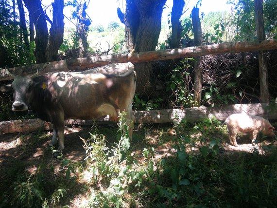 G.Juocevičiūtės nuotr./Gyvuliai Kaukazo kraštų kaimuose ganosi palaidi
