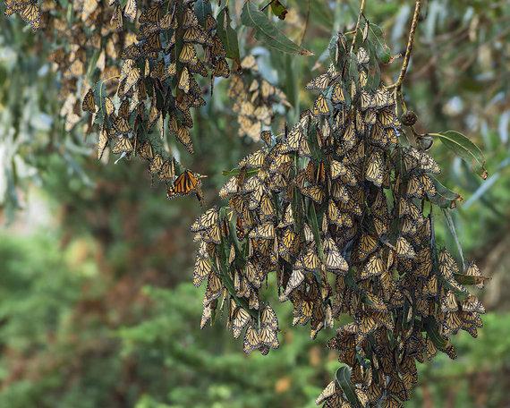 Shutterstock.com nuotr./Monarcho drugelių giraitė, Pismo Bičas, JAV