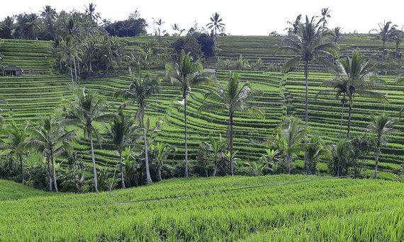 V.Panovaitės nuotr./Balio ryžių laukai