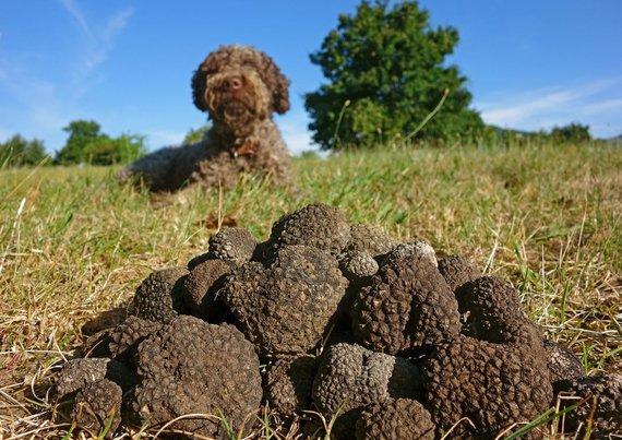 Shutterstock.com nuotr./Triufelių paieškos Markėje