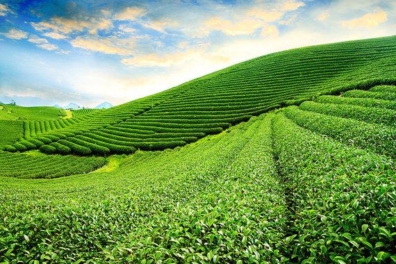 Shutterstock.com nuotr./8. Šiaurės Vietnamo arbatos plantacijos