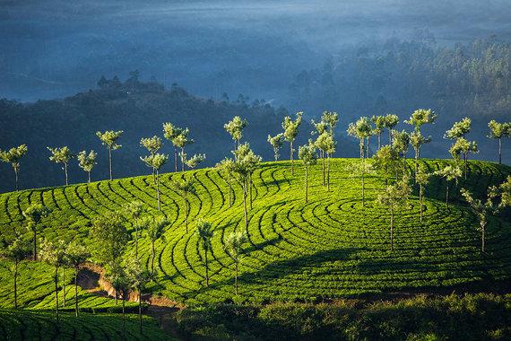 Shutterstock.com nuotr./9. Munnar, Indija