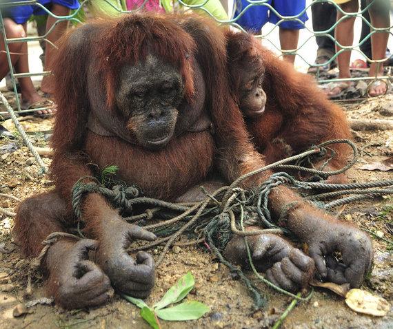 """Reuters""/""Scanpix"" nuotr./Orangutangai"