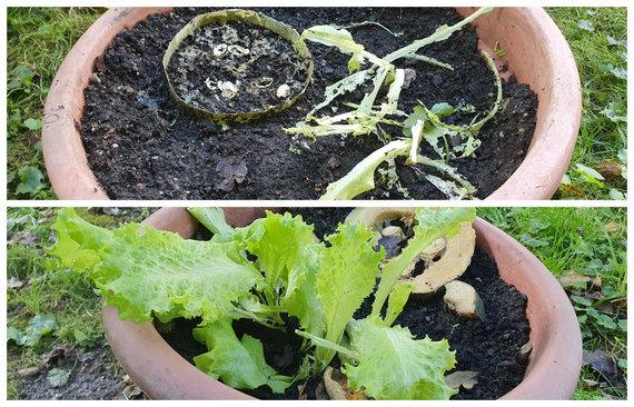 L.Tubio/15min nuotr./Vazonai su salotų lapais: apačioje su apsauga nuo invazinių šliužų, viršuje – be jos