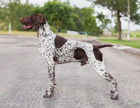 Asmeninio archyvo nuotr. /Miglės auginami kurtsharai – žaismingi, sportiški ir prieraišūs šunys