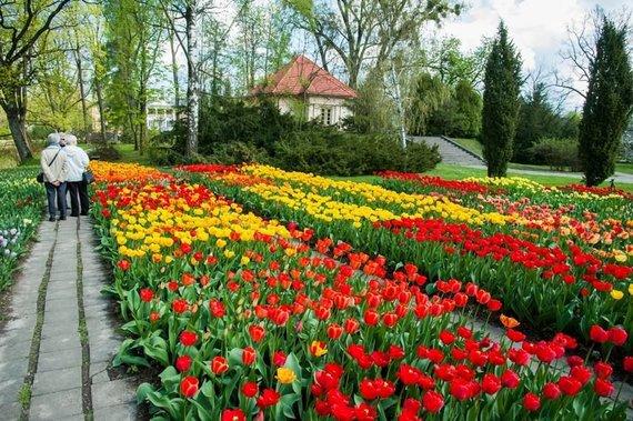 VDU botanikos sodo nuotr. /Tulpių žydėjimas VDU botanikos sode