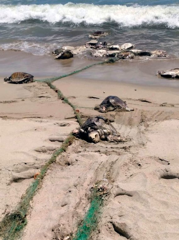 """AFP/""""Scanpix"""" nuotr./Meksikos paplūdimyje rasta 300 negyvų nykstančių vėžlių"""