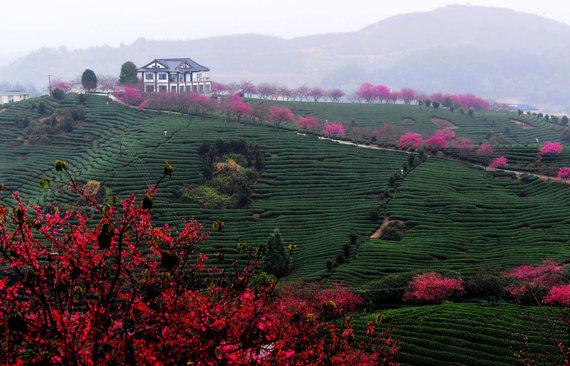 """""""Scanpix""""/""""Sipa USA"""" nuotr./Vyšnių žiedai arbatos laukuose Fudziano provincijoje Kinijoje"""