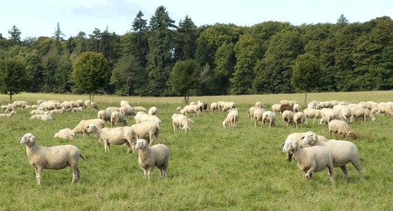 Shutterstock nuotr./Ūkyje auginamos avys