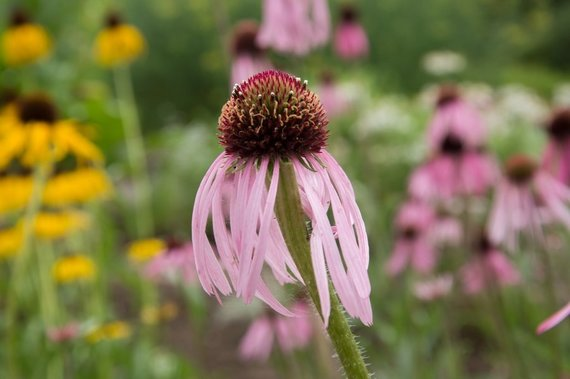 Asmeninio archyvo nuotr. /Tenesinė ežiuolė (Echinacea tennesseensis)