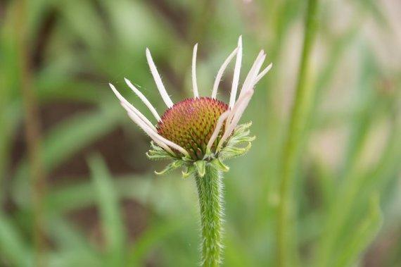 Asmeninio archyvo nuotr. /Siauralapė ežiuolė (Echinacea angustifolia)