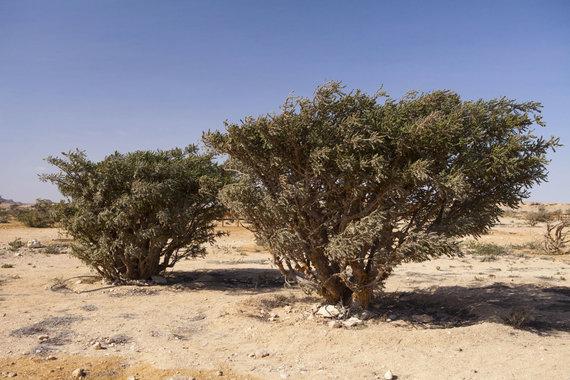 123RF.com nuotr./Bosvelijos medis